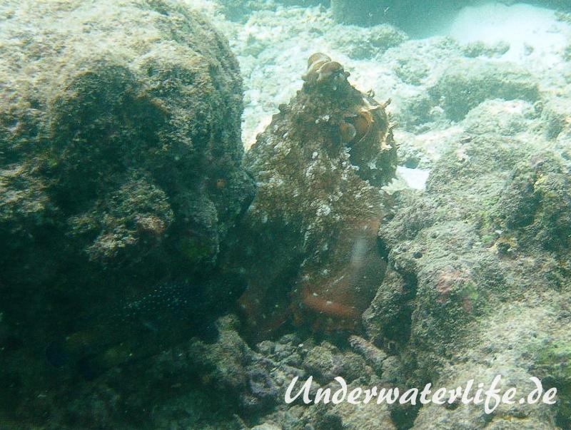 Roter Krake_adult-Malediven-2013-013
