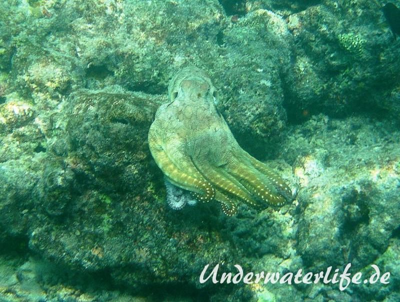 Roter Krake_adult-Malediven-2013-016