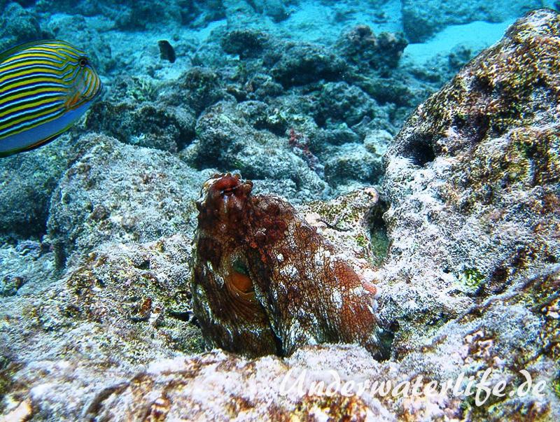 Roter Krake_adult-Malediven-2013-018