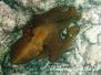 Indik Kopffüßer-Cephalopoda-Cuttlefish