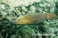 Roter Krake_adult-Malediven-2013-008