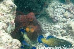 Roter Krake_adult-Malediven-2013-015