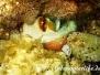 Gemeiner Krake (Octopus vulgaris) Mittelmeer