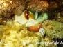 Mittelmeer Kopffüßer-Cephalopoda-Cuttlefish
