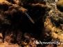 Gemeiner Putzerfisch (Labroides dimidiatus) Indopazifik