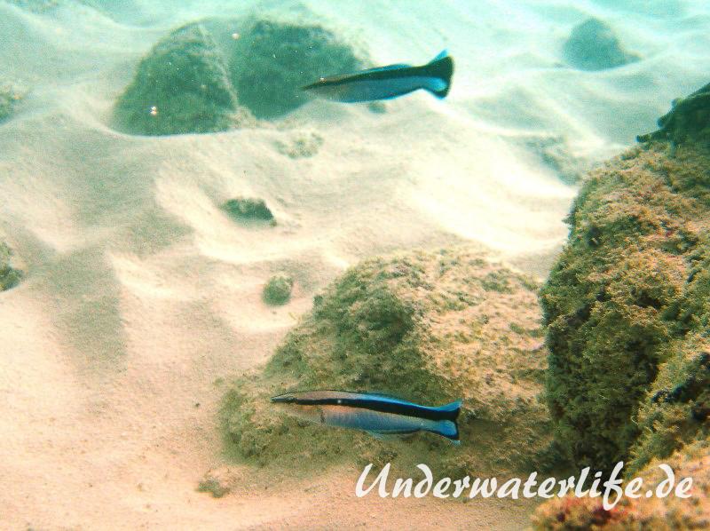 Gemeiner Putzerfisch_adult-Malediven-2013-03