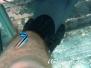 Gemeiner Putzerfisch (Labroides dimidiatus) Indik