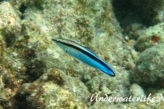 Gemeiner Putzerfisch_adult-Malediven-2013-01