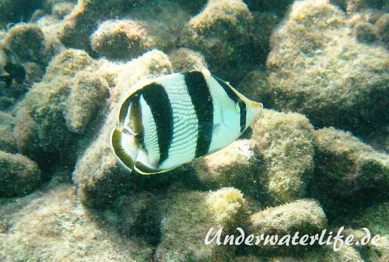 Gestreifter Falterfisch_adult-Karibik-2014-001