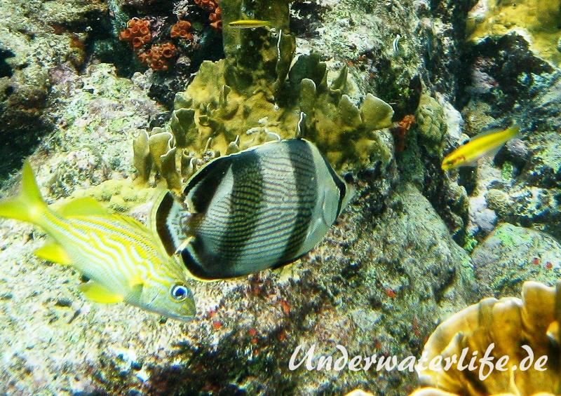Gestreifter Falterfisch_adult-Karibik-2014-004