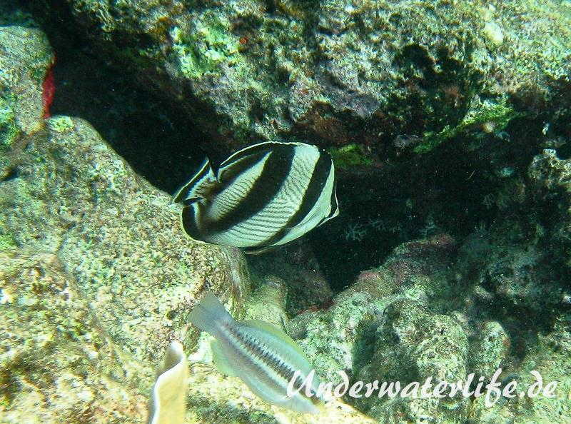 Gestreifter Falterfisch_adult-Karibik-2014-005