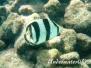 Gestreifter Falterfisch (Chaetodon striatus)