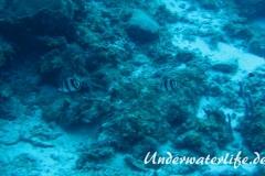 Gestreifter Falterfisch_adult-Karibik-2014-002