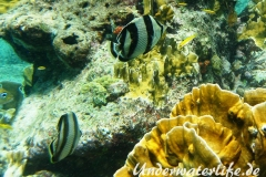 Gestreifter Falterfisch_adult-Karibik-2014-003