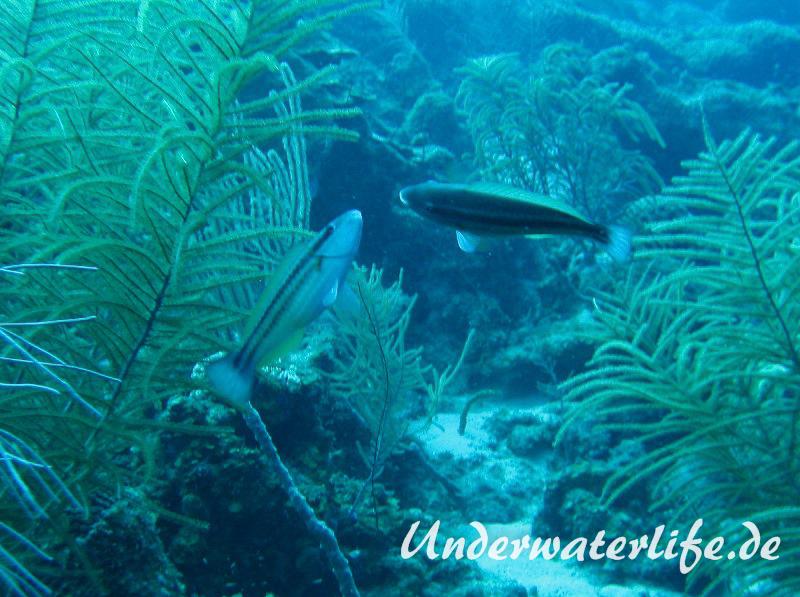 Gestreifter Papageifisch_adult-Karibik-2014-003