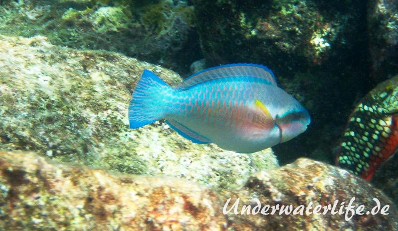 Gestreifter Papageifisch_adult-Karibik-2014-006