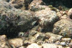 Gestreifter Papageifisch_juvenil-Karibik-2014-001