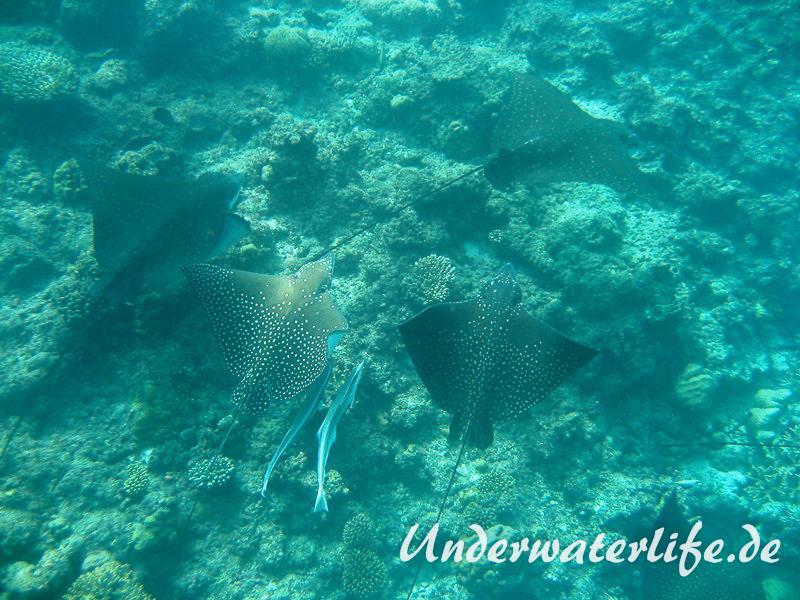 Gefleckter-Adlerrochen_adult-Malediven-2013-07