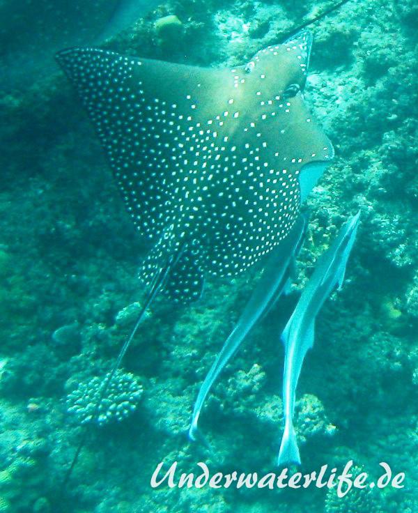 Gestreifter Schiffshalter_adult-Malediven-2013-01