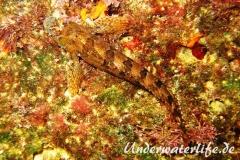 Gestreifter Schleimfisch_adult-Dubrovnik-2015-01