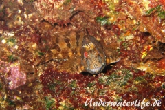 Gestreifter Schleimfisch_adult-Dubrovnik-2015-02