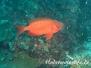 Gewöhnlicher-Großaugenbarsch (Priacanthus hamrur)