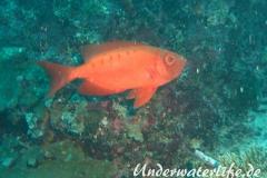 Gewoehnlicher Grossaugenbarsch_adult-Malediven-2013-01