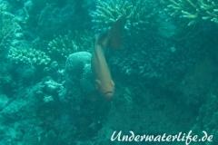 Gewoehnlicher Grossaugenbarsch_adult-Malediven-2013-02