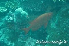 Gewoehnlicher Grossaugenbarsch_adult-Malediven-2013-03