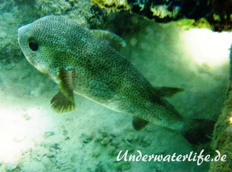 Gewöhnlicher Igelfisch_adult-Marsa alam-2012-1