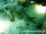 Gewöhnlicher Igelfisch (Diodon hystrix) Indik