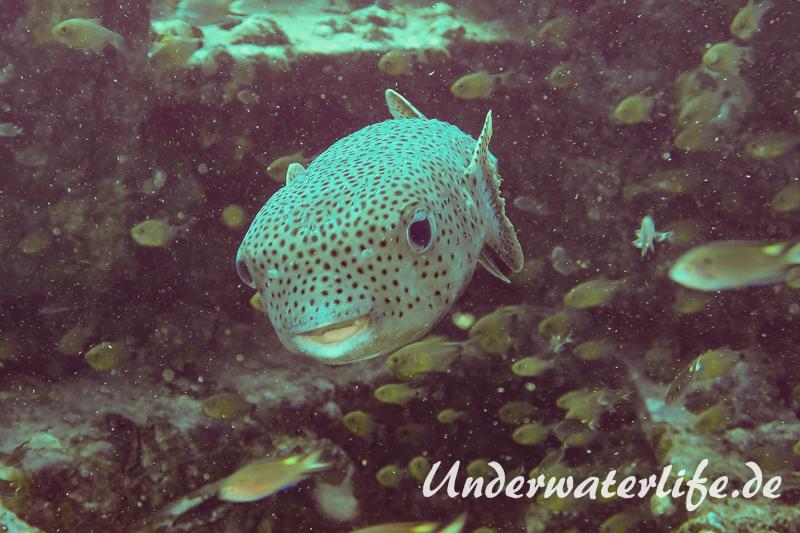 Gepunkteter Igelfisch_adult-Thailand-2017-004