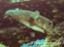Gewöhnlicher Igelfisch (Diodon hystrix) Indopazifik