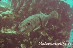 Gepunkteter Igelfisch_adult-Thailand-2017-003