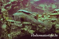 Gepunkteter Igelfisch_adult-Thailand-2017-007