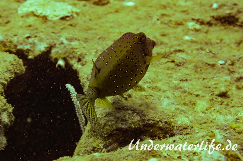 Gewoehnlicher Kofferfisch_adult-Thailand-2017-001