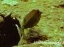 Indopazifik Kofferfische-Ostraciidae-Boxfishes