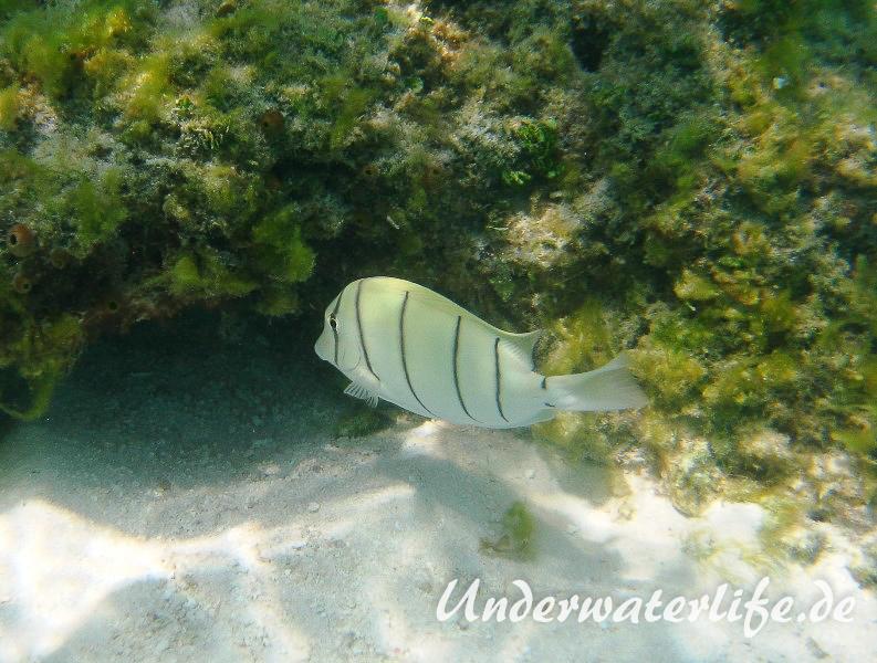 Gitter-Doktorfisch_adult-Malediven-2013-02