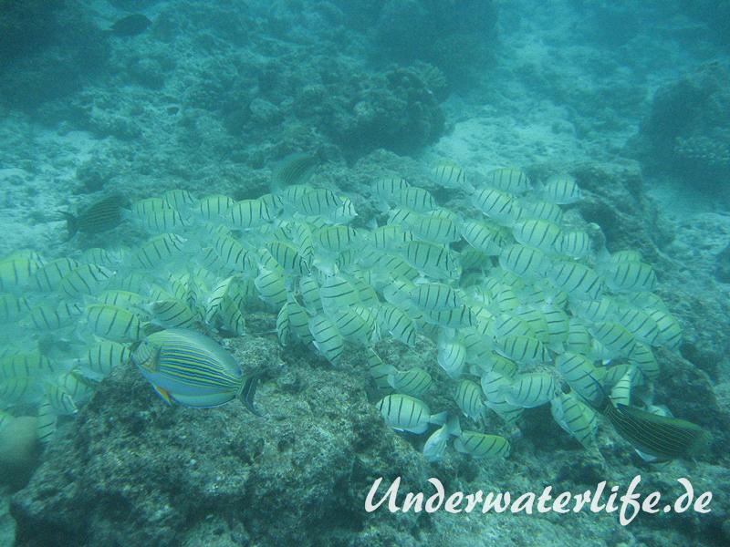 Gitter-Doktorfisch_adult-Malediven-2013-03