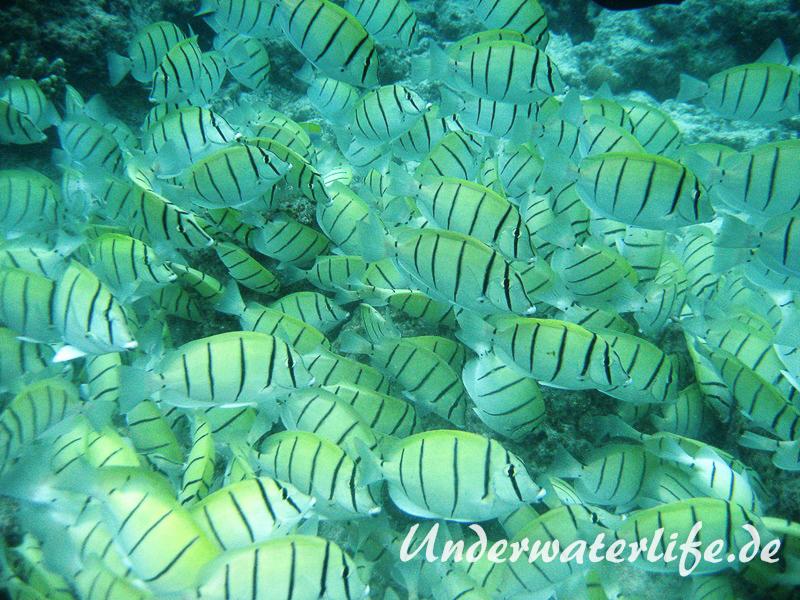 Gitter-Doktorfisch_adult-Malediven-2013-05