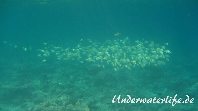 Gitter-Doktorfisch_adult-Malediven-2013-07