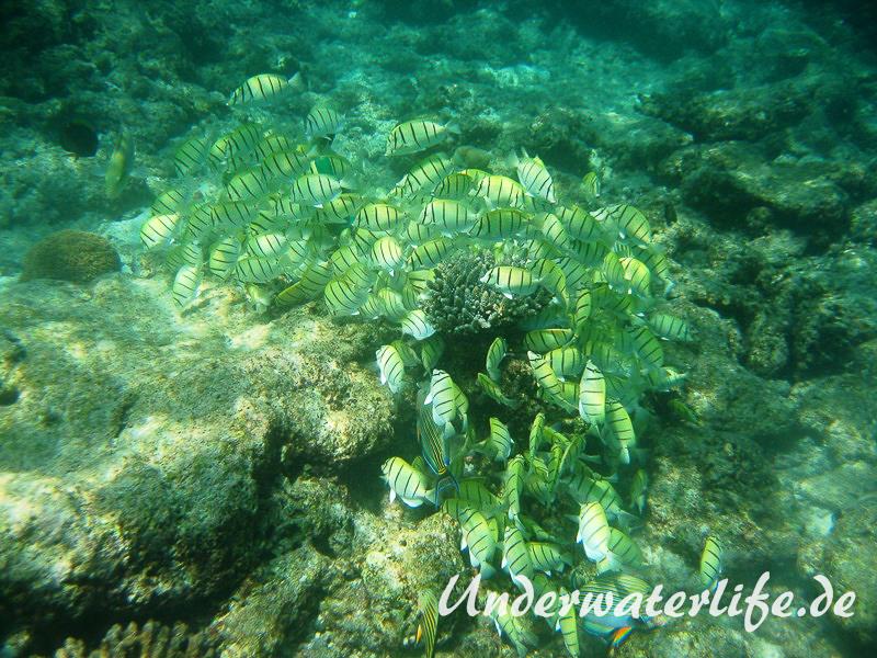 Gitter-Doktorfisch_adult-Malediven-2013-09
