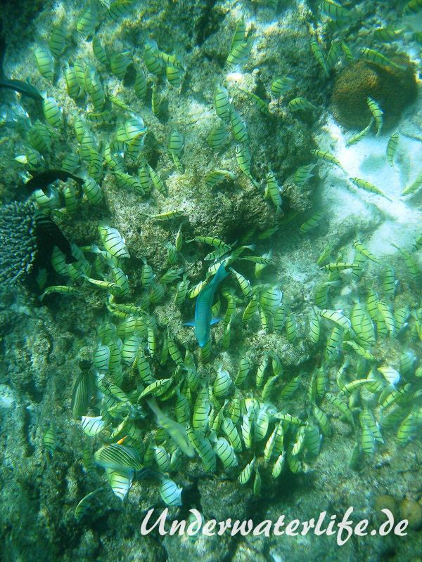 Gitter-Doktorfisch_adult-Malediven-2013-10