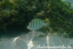 Gitter-Doktorfisch_adult-Malediven-2013-01