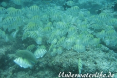 Gitter-Doktorfisch_adult-Malediven-2013-04