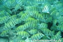 Gitter-Doktorfisch_adult-Malediven-2013-06