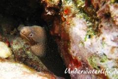 Goldschwanz-Muräne_adult-Karibik-2014-002