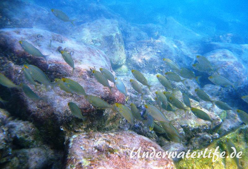 Goldstrieme_adult-Dubrovnik-2015-10