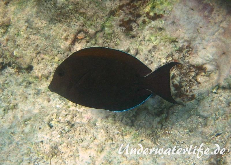 Goldtupfen oder Brauner-Doktorfisch_adult-Marsa alam-2012-1