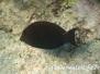 Goldtupfen/Brauner- Doktorfisch (Acanthurus nigrofuscus)